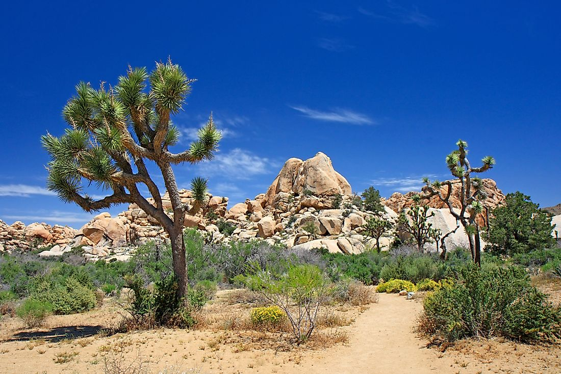The Joshua tree is one of the unique species of the Mojave Desert.