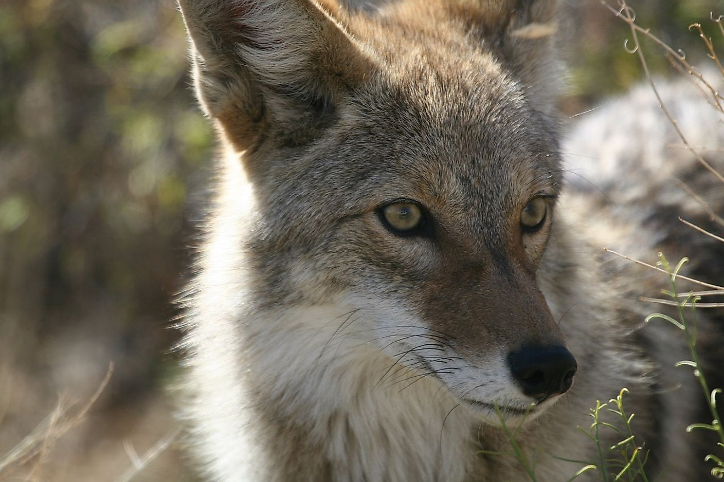 "Coyotes have influenced society and human culture, featuring in many aboriginal folklore tales and myths, especially in the form of a ""trickster figure"", likely owing to their ""sly smiles"" and scavenging activities."