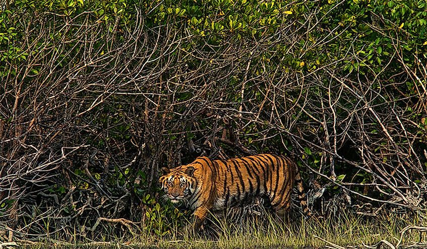 a-tiger-in-sundarbans