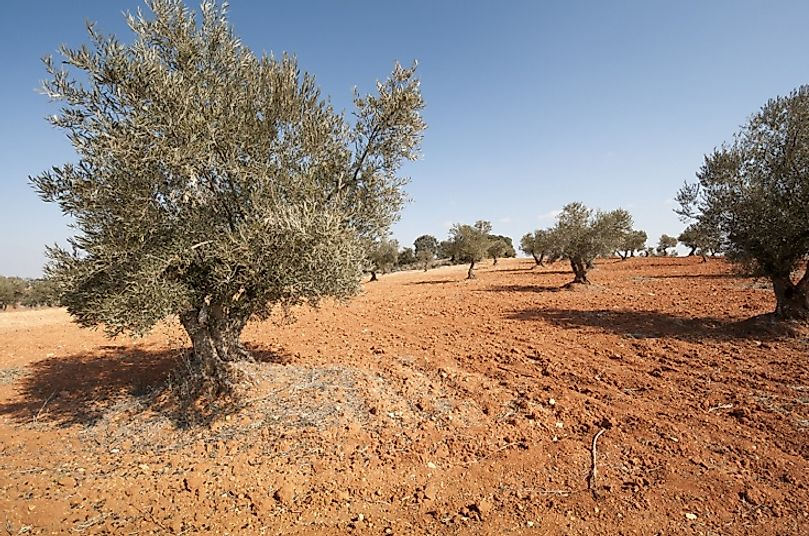 Olive trees such as these are well-suited for growing in semiarid environs.
