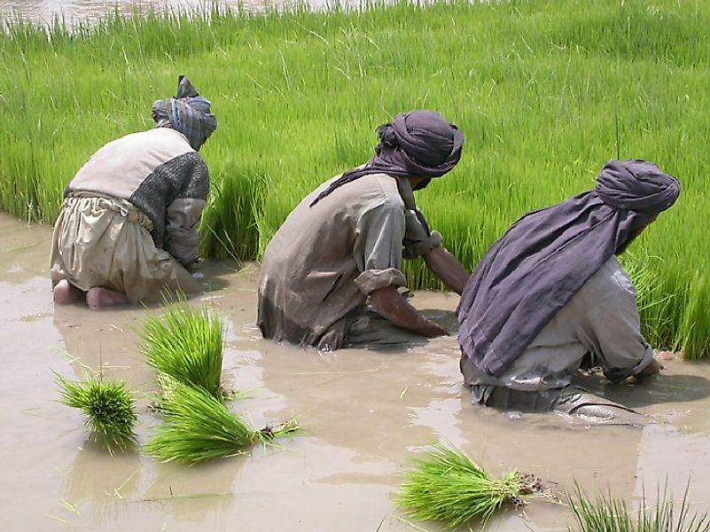 Irrigation canals in Afghanistan use snow melt from mountain rivers to transform otherwise arid land into lush rice paddies.