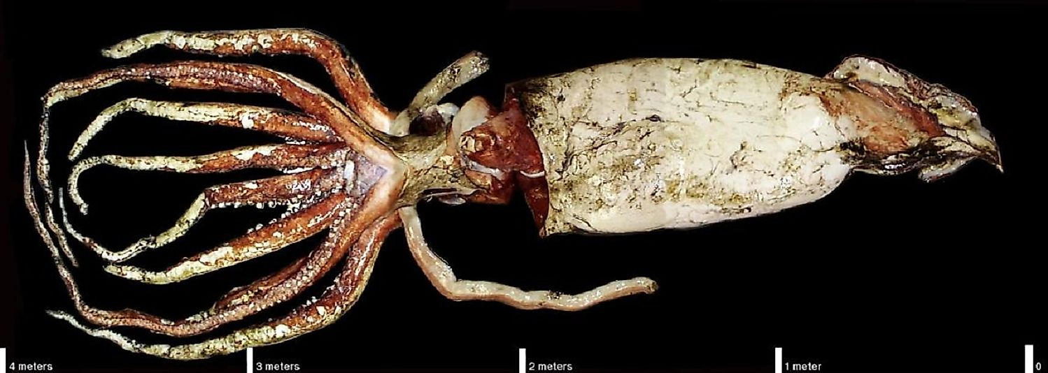 Giant squid specimen with its largest tentacles removed at the National Institute of Water and Atmospheric Research (NIWA) in New Zealand.