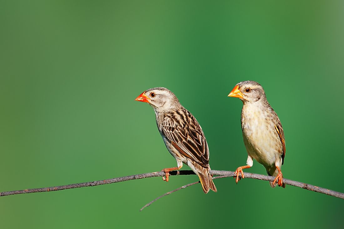 Two red-billed queleas on a branch. After domestic chickens, the red-billed quelea is the world's most abundant bird species.