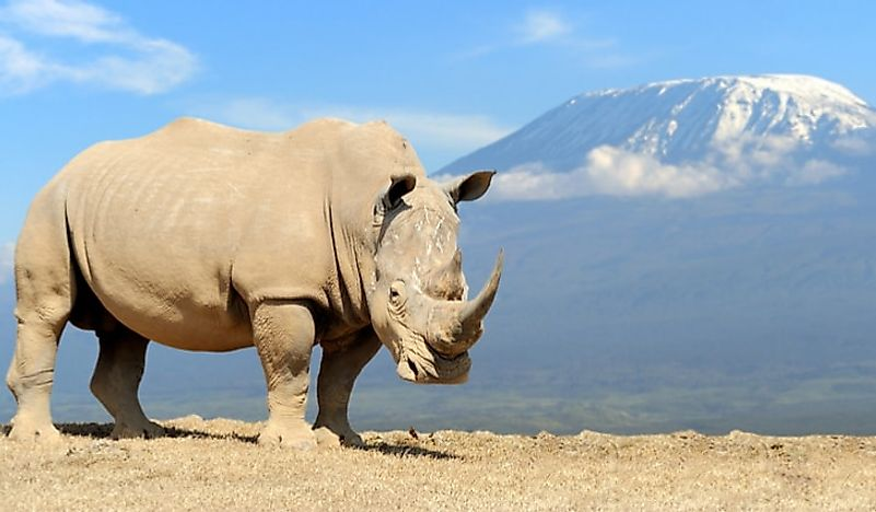 An African white rhino with Mount Kilimanjaro in the background.