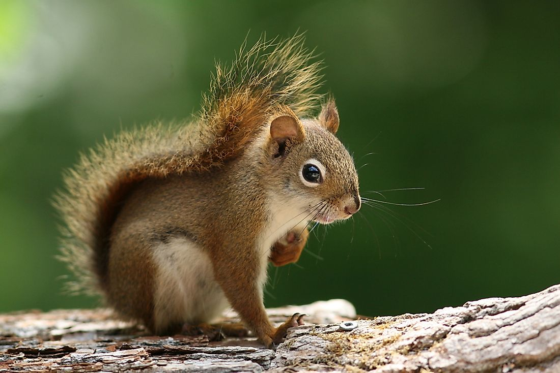 An American red squirrel in Ontario, Canada.