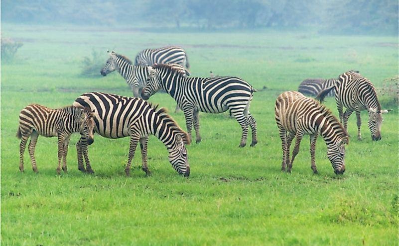 Zebras graze at Manyara national park in Tanzania.