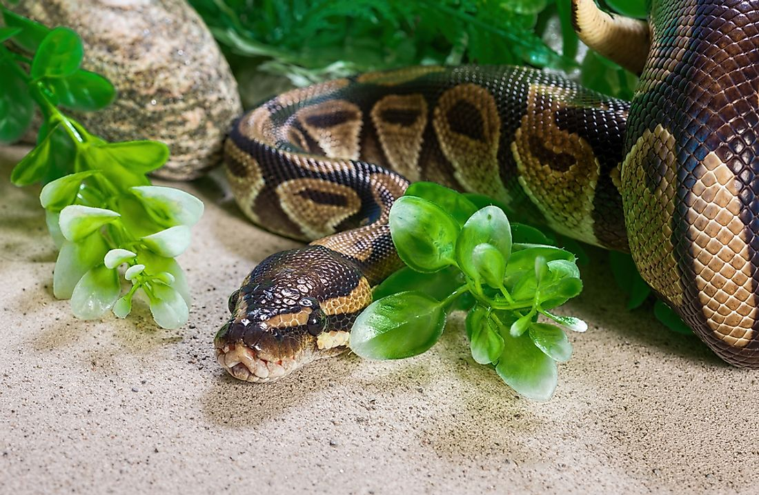 Burmese Python Facts Animals of Asia