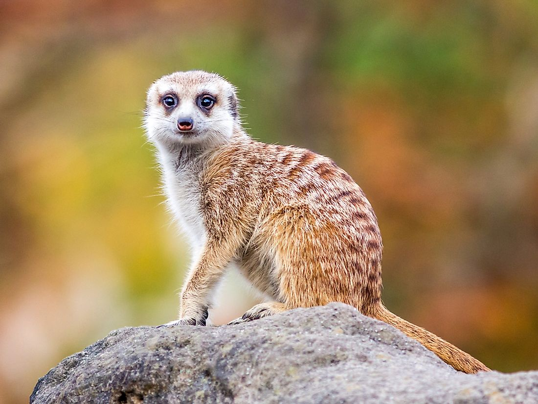 Meerkats are social animals that live in arid regions of southern Africa. They enjoy each others' company almost as much as they love to feast on insects.