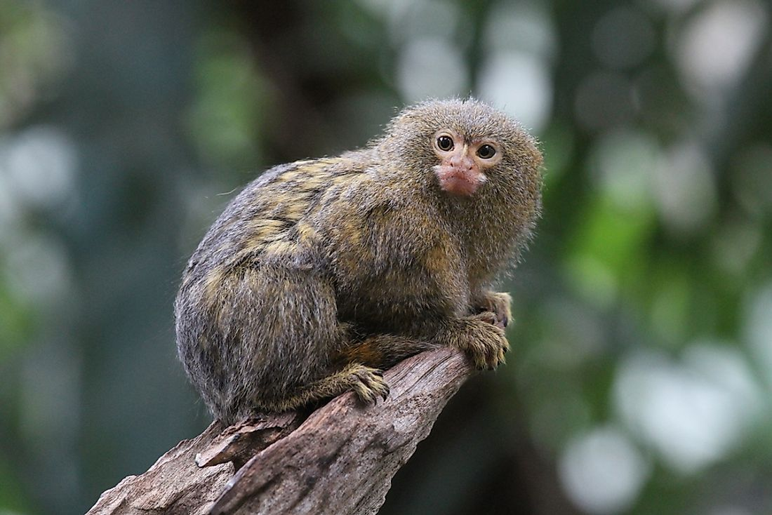 The pygmy marmoset is the smallest monkey in the world.