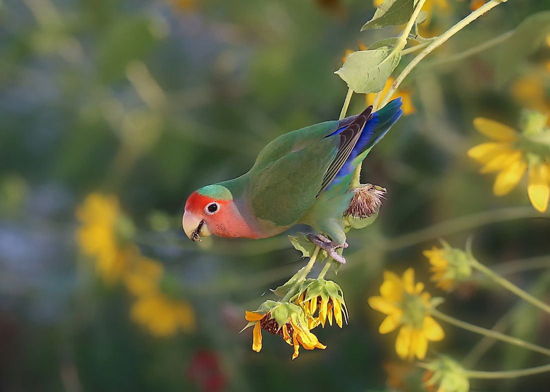 Fischer's Lovebirds are colorful birds native to parts of eastern Africa.