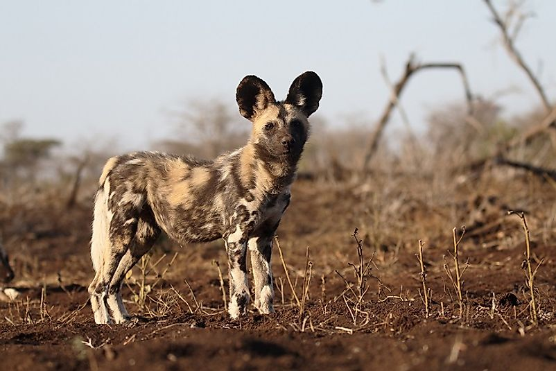 The endangered Cape Wild Dog.