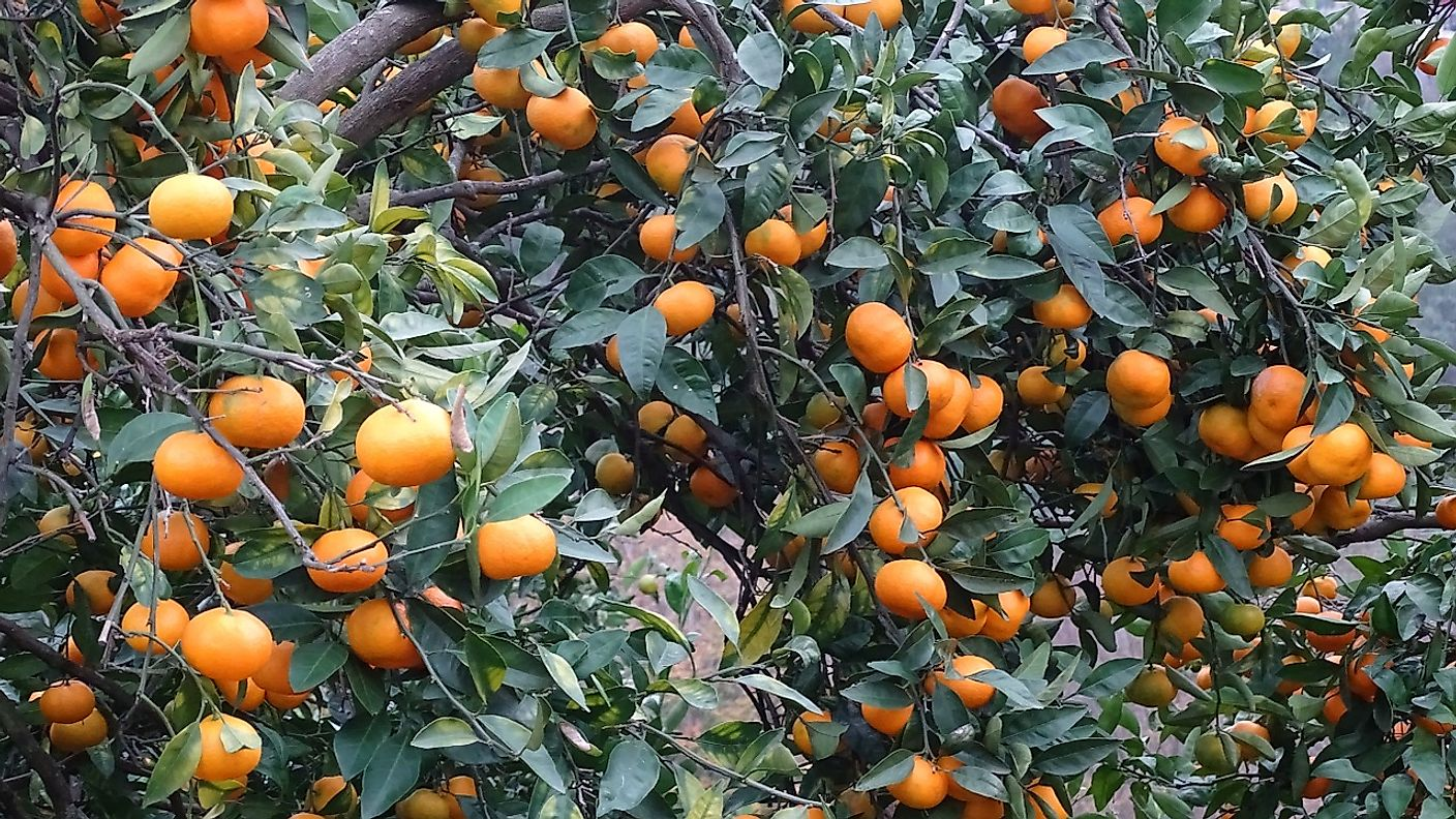 A farm growing tangerine, another popular small fruit similar to mandarins.