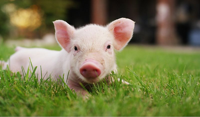 Pigs are one of the most intelligent mammals.