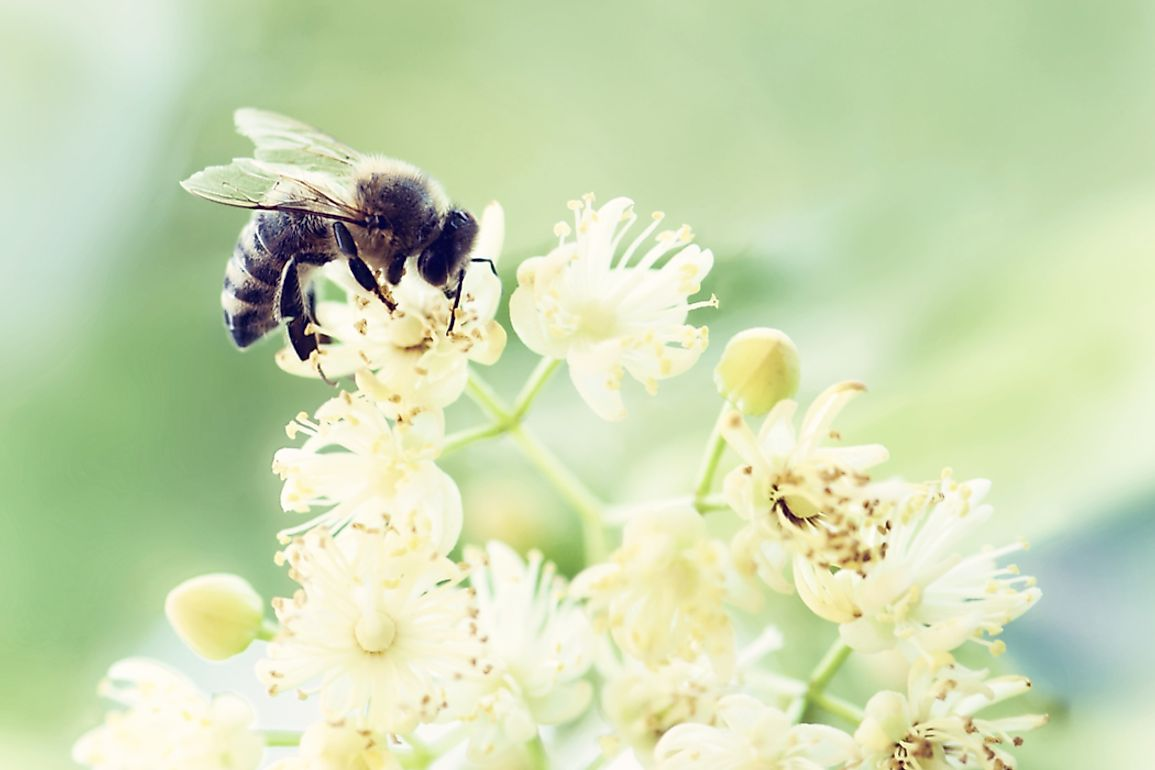 Bees are found in almost every habitat containing insect-pollinated flowering plants. Photo credit: shutterstock.com.