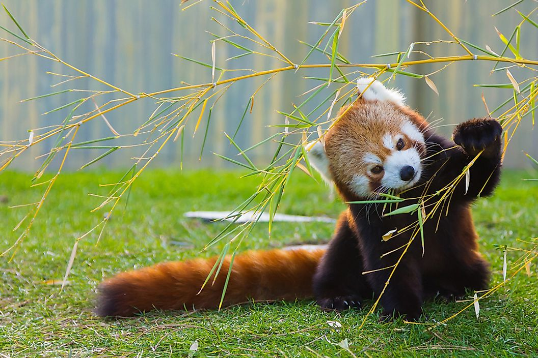 The red panda is easily identifiable by its red fur and white markings.