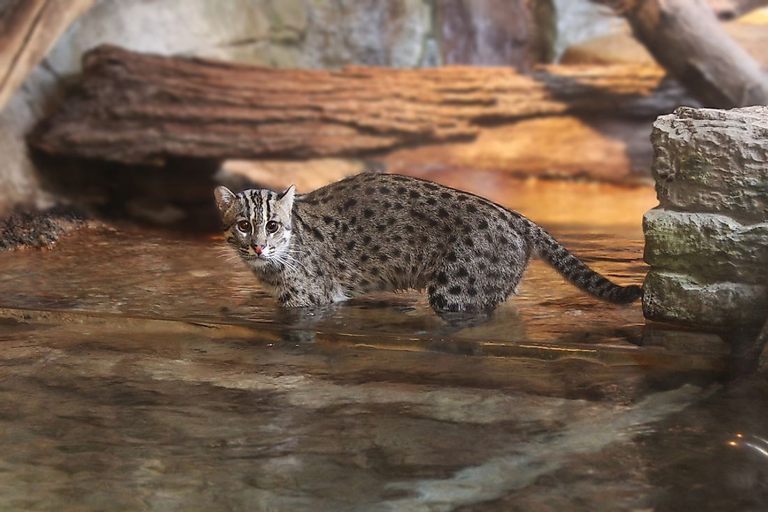 Fishing cats, like the one pictured here, are native to south and southeast Asia. Photo credit: Shutterstock.