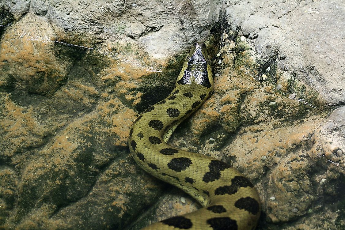 The green anaconda is the largest snake in the world.