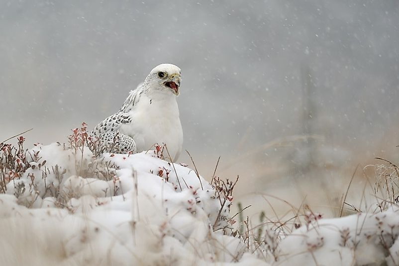 A Gyrfalcon in the snow.