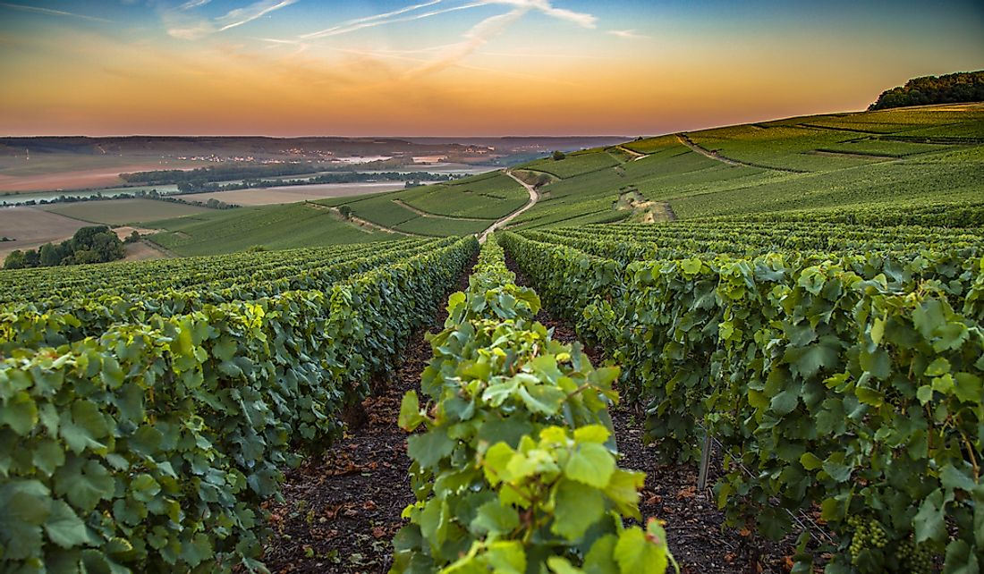 Vineyard in the Champagne region of France.