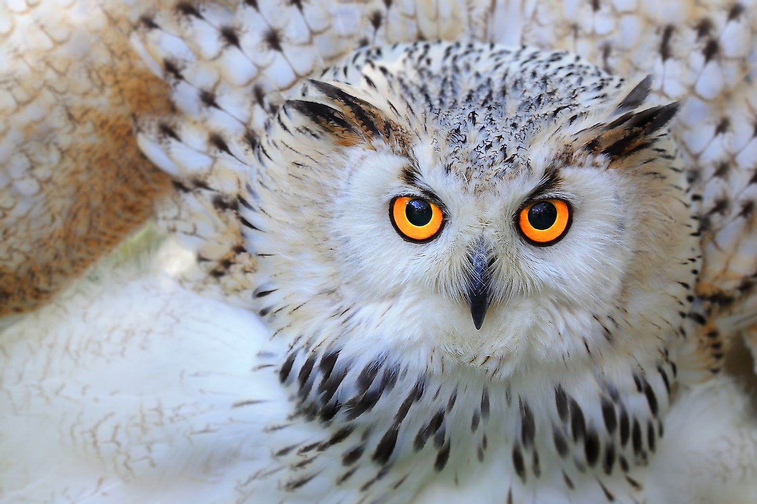 A Snowy owl. Image credit:  Skynavin/Shutterstock.com