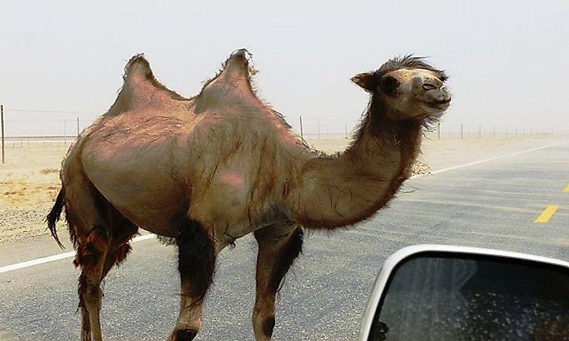 #8 Wild Bactrian Camel -