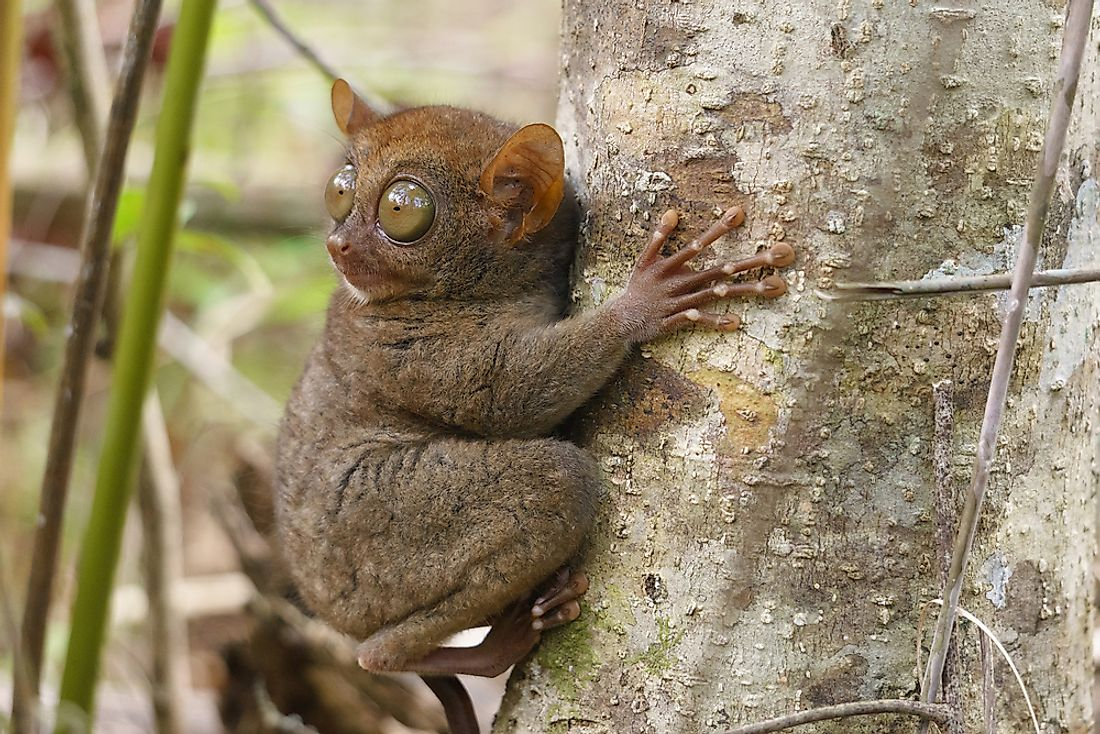 Tarsiers can turn their head about 180° in either direction.