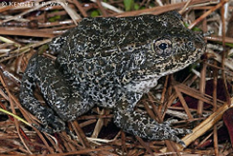 The extremely rare Mississippi Gopher Frog.
