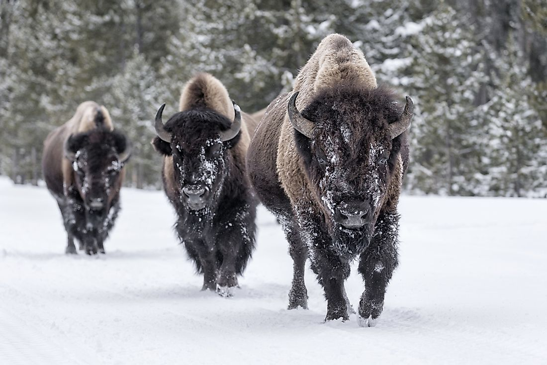 American bison in the winter landscape.