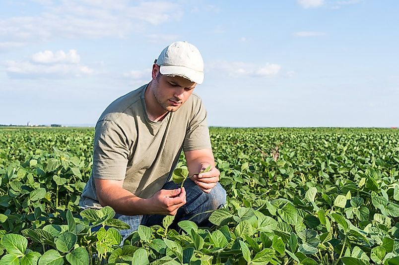 A young American soybean farmer checks in on his burgeoning crop.