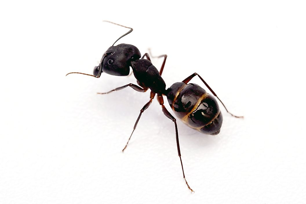 The black garden ant can be found in Europe, North America, South America and Asia.
