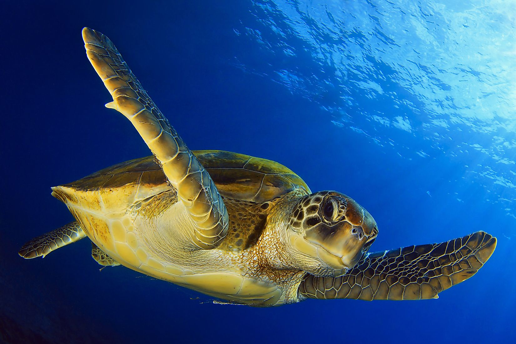A Green Turtle. Image credit: David Carbo/Shutterstock.com