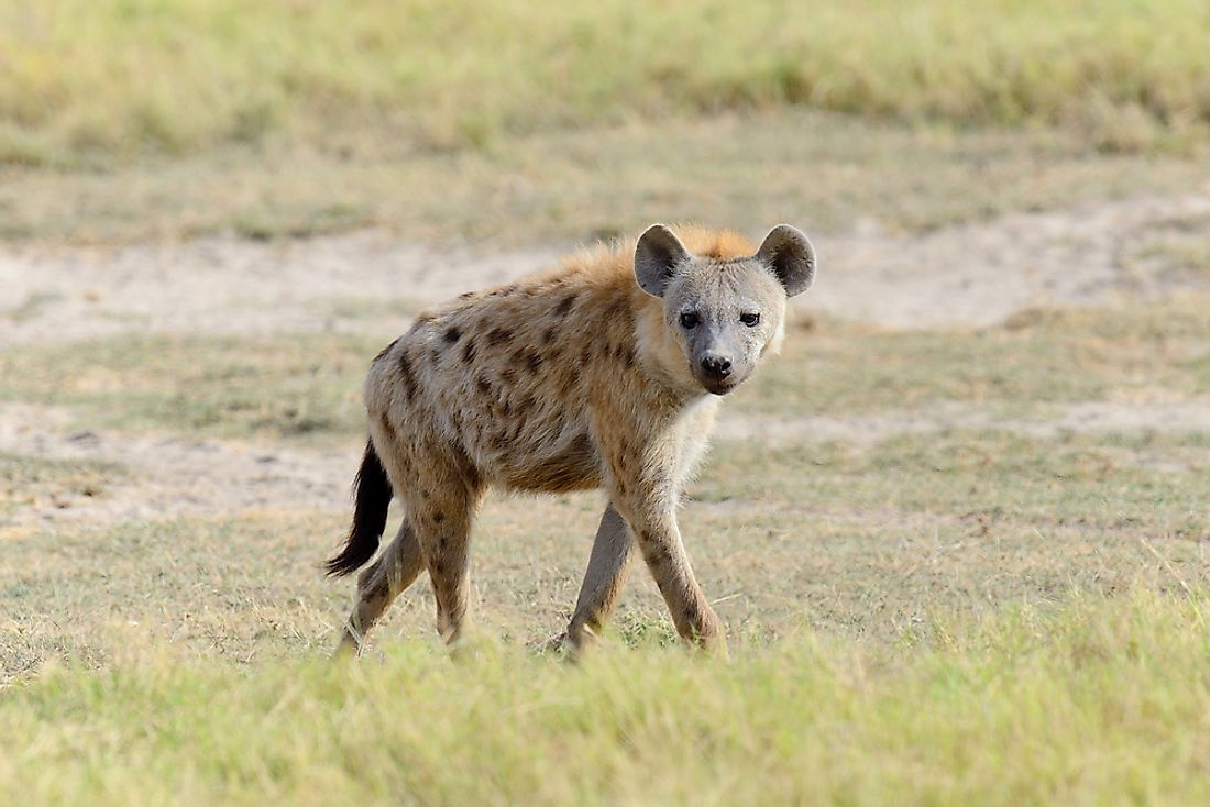 The Spotted hyena is the most widespread of the four hyena species.