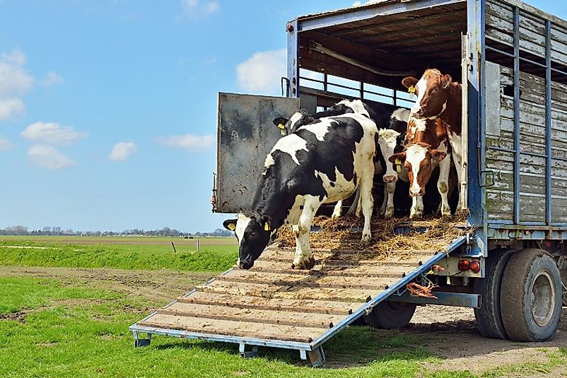 A cattle trailer unloading a shipment of cows at their new homes.