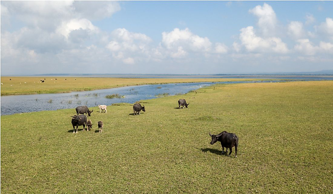 A herd of buffalo grazing along Lake Ira Lalaro in Lautem, Timor-Leste.