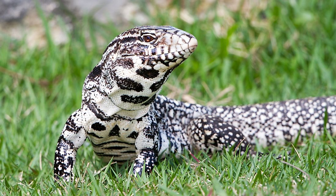 The black and white tegu is the largest of the tegu lizards.