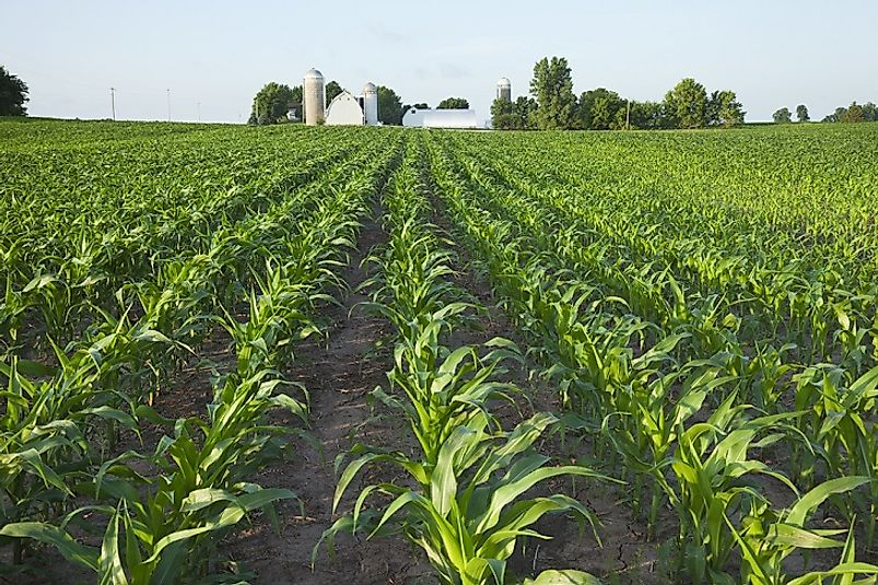 A crop of young corn grows in the state of Minnesota, USA.