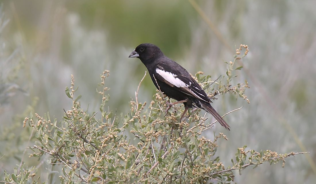 Breeding males usually have a jet-black body and white wings.