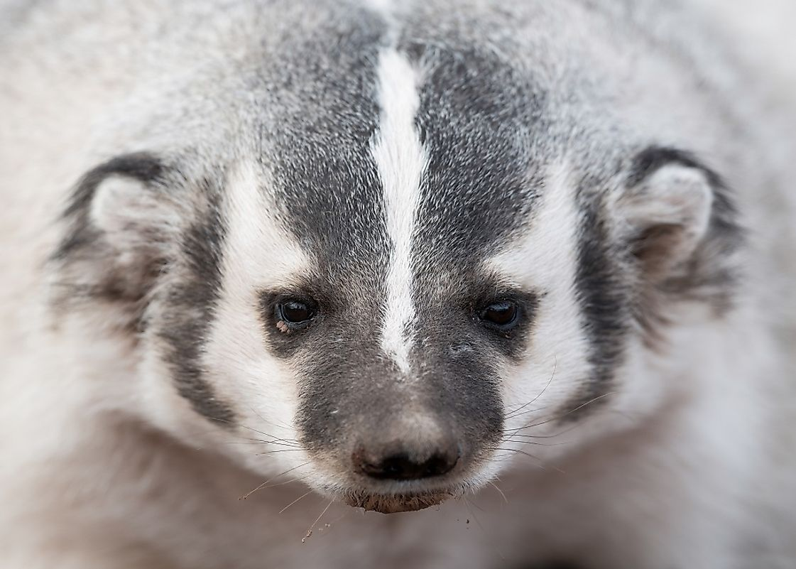 The sight of an American Badger is a scary experience for the prey it digs up from out of the earth.
