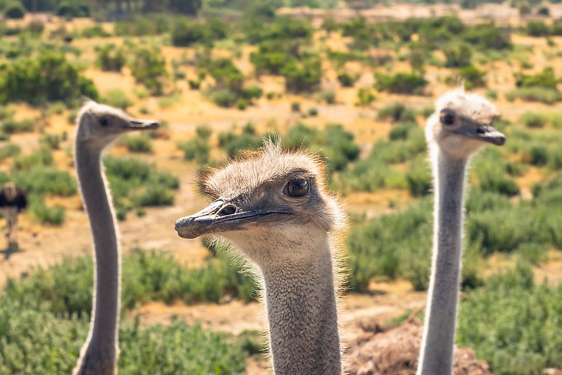 Ostriches have the largest eyes out of any bird in the world.