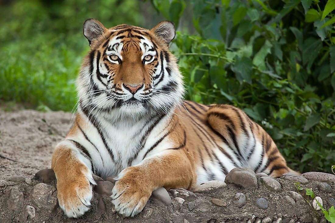The Siberian tiger is one of the largest big cats in the world.