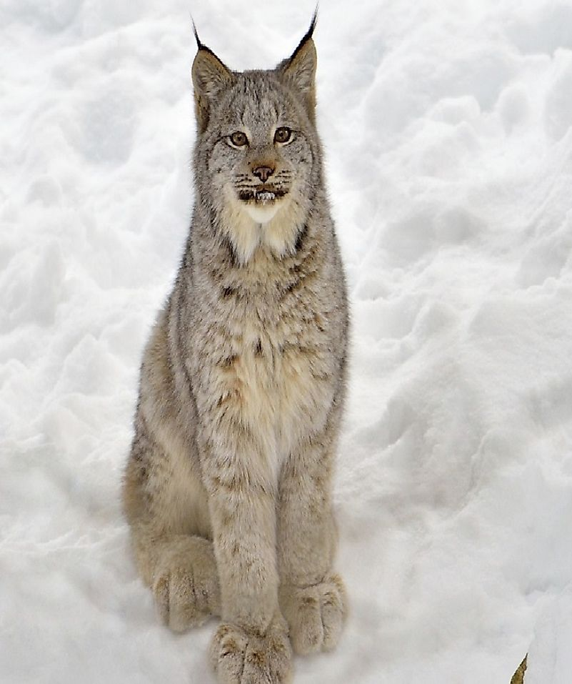 A juvenile Canadian Lynx (Lynx canadensis) taking it easy in the snow.