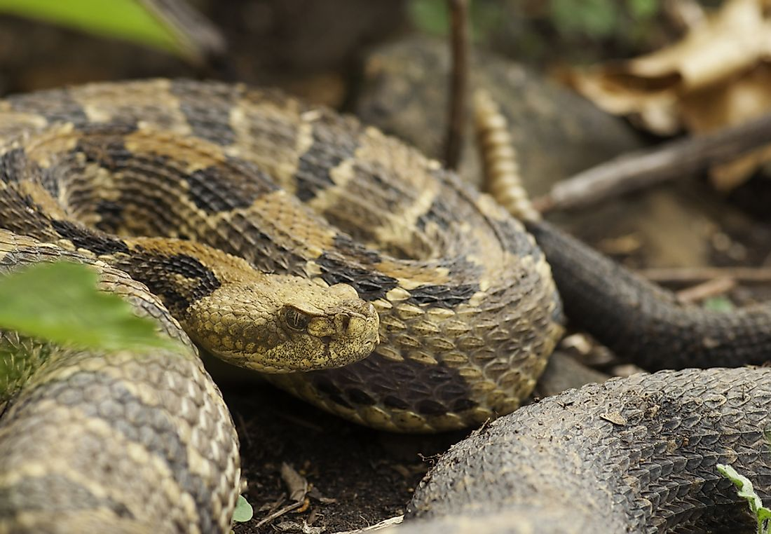 The timber rattlesnake is one of the most feared snakes in Florida.