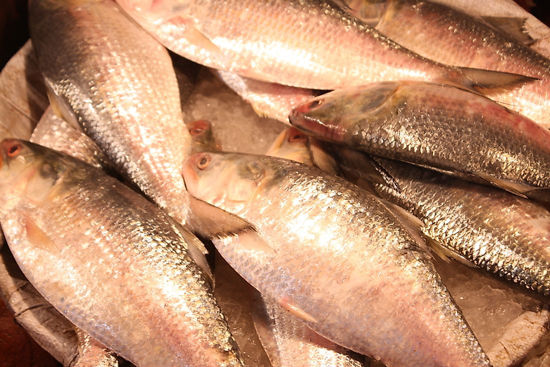 Hilsa is the national fish of Bangladesh and a popular food in the region. Photo credit: Shutterstock.