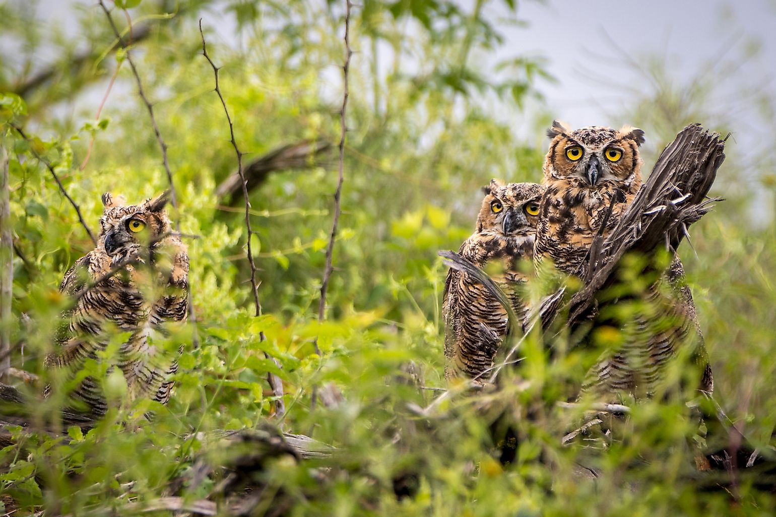 Parliament of Great Horned Owls. Image credit: RogersPhotography/Shutterstock.com