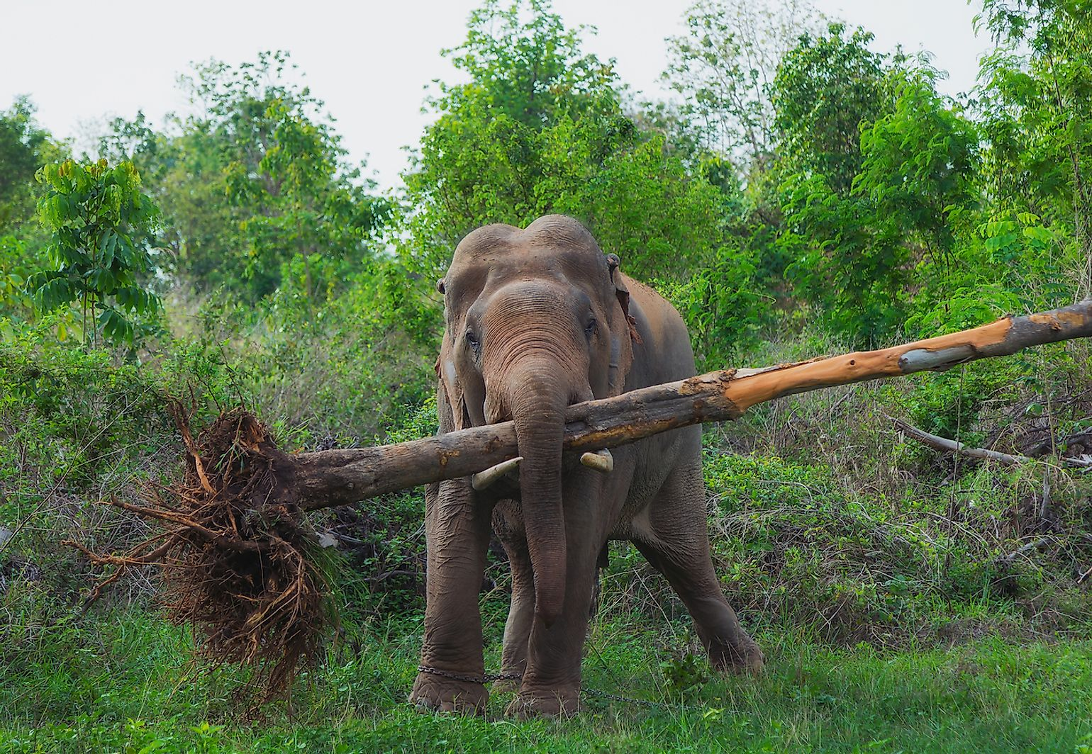 An African elephant with an uprooted tree. Image credit: MossStudio/Shutterstock.com