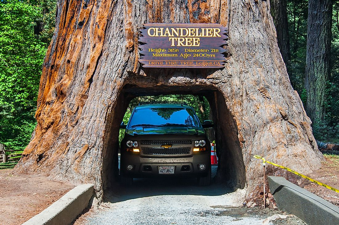 The base of the Chandelier Tree in California is wide enough for a car to drive through it. Editorial credit: Nick Fox / Shutterstock.com