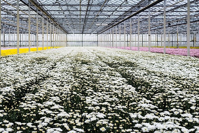 Dutch greenhouse filled with beautiful multi-color chrysanthemums.
