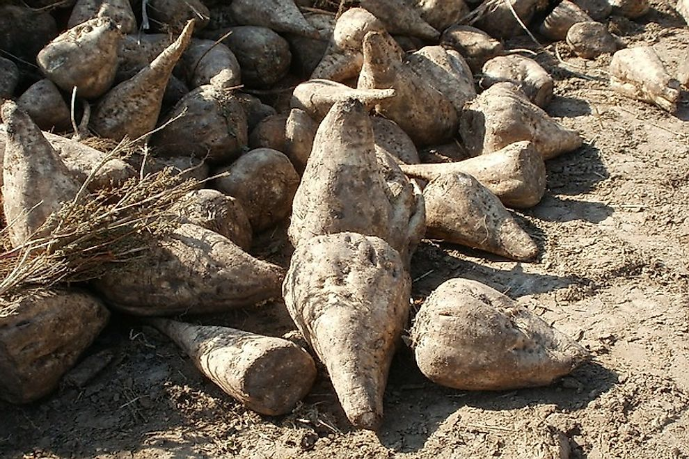Sugar beet after a harvest.