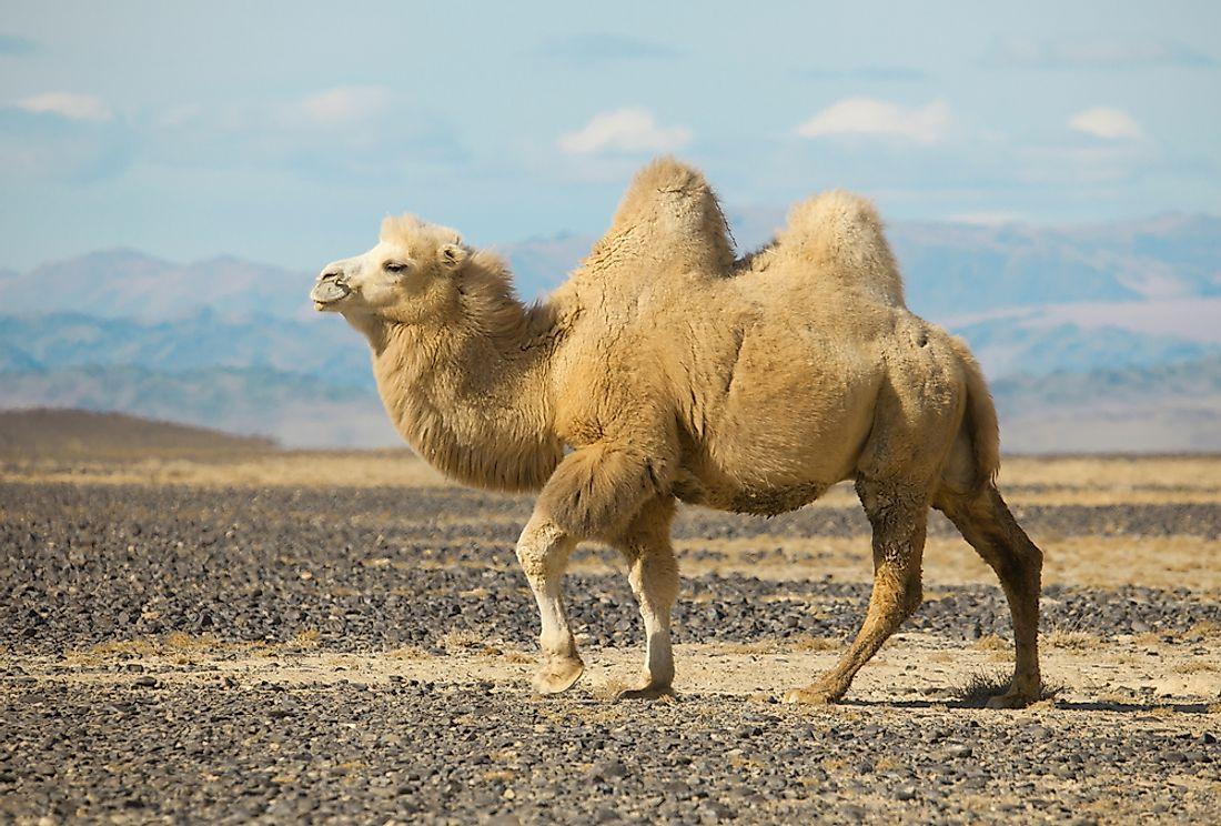 A Bactrian camel in Mongolia.