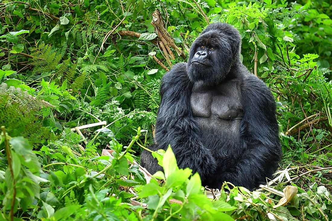 A gorilla sits in the rainforest of the Congo.